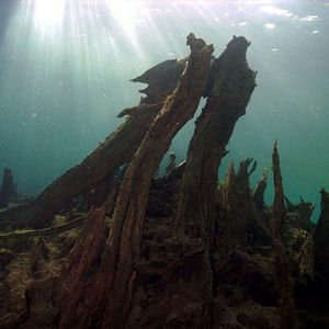 Cypress_Stump_at_Morrison_Springs.jpg