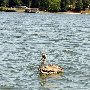 Pelican_on_Lake_Wylie.jpg